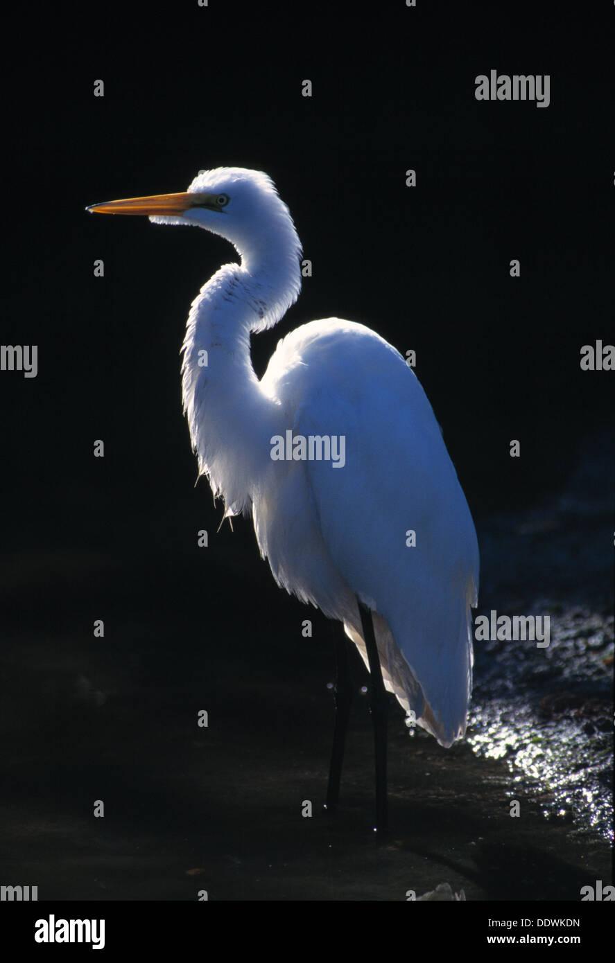 Great egret in Ding Darling National Wildlife Refuge Florida - Stock Image