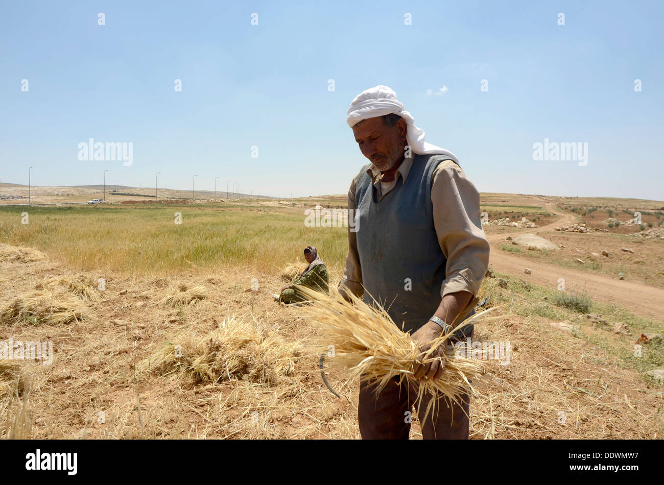 Manual wheat harvesting with a sickle  - Stock Image
