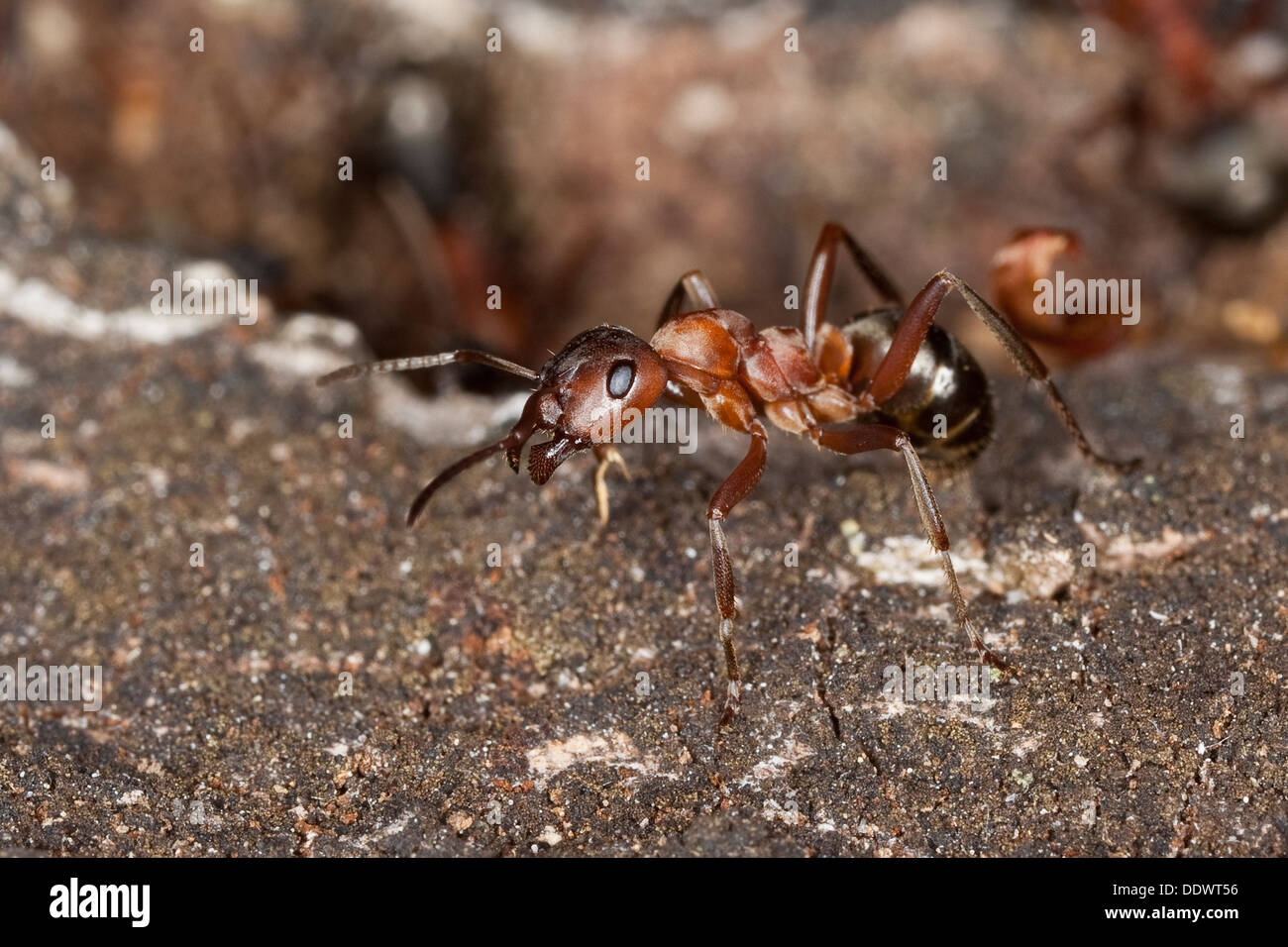 blood-red ant, slave-making ant, wood ant, Blutrote Raubameise, Blutrote Waldameise, Formica sanguinea, Raptiformica sanguinea - Stock Image