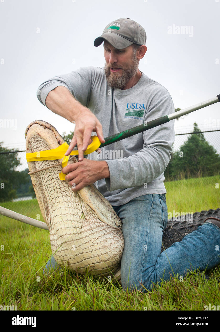 A USDA biologist binds a nuisance alligator after being captured July 25, 2013 at Moody Air Force Base, GA., July 25, 2013. The alligator had to be relocated after it lost fear of people due to illegal feeding. - Stock Image