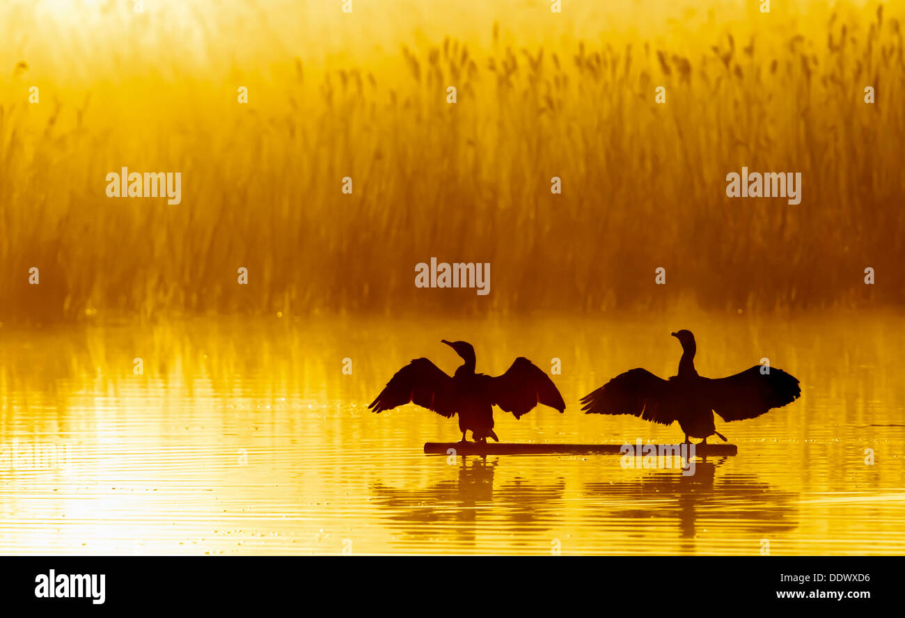 Cormorants drying their wings in the warm morning sun - Stock Image