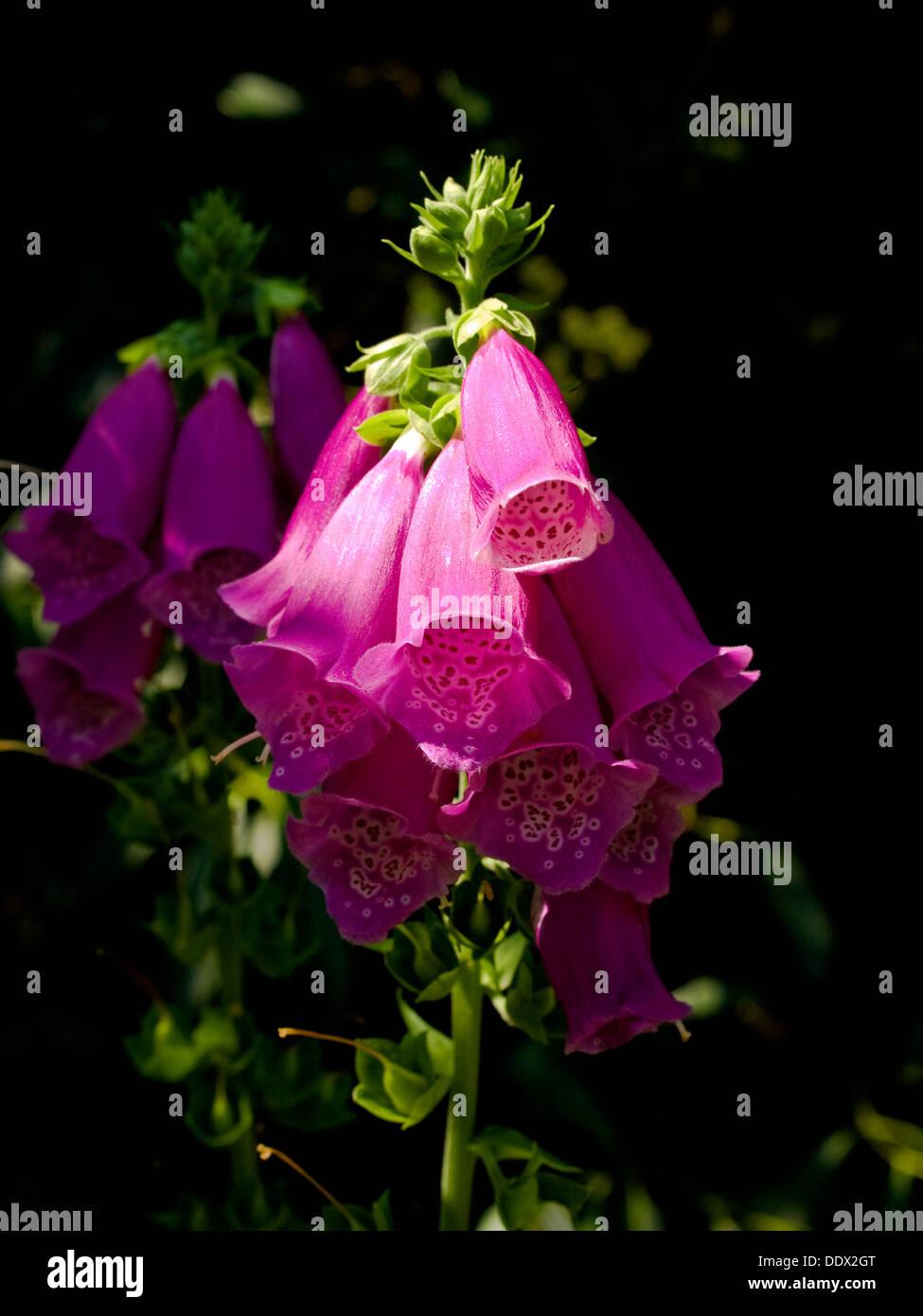 Foxglove (Digitalis purpurea) flowers - Stock Image