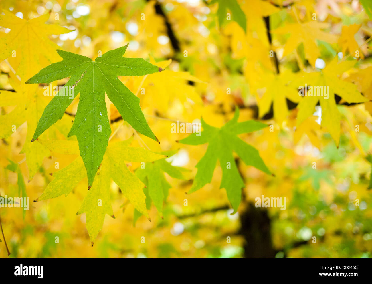 Beautiful Fall Autumn Gold And Green Leaves From A Japanese