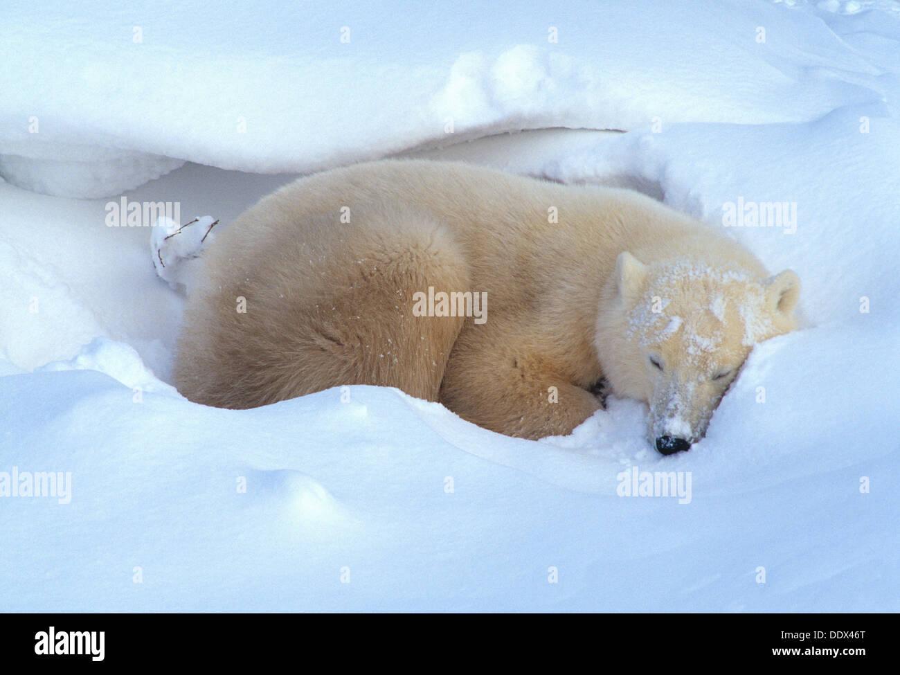 Polar bear napping in snow near Churchill Manitoba Canada Stock Photo