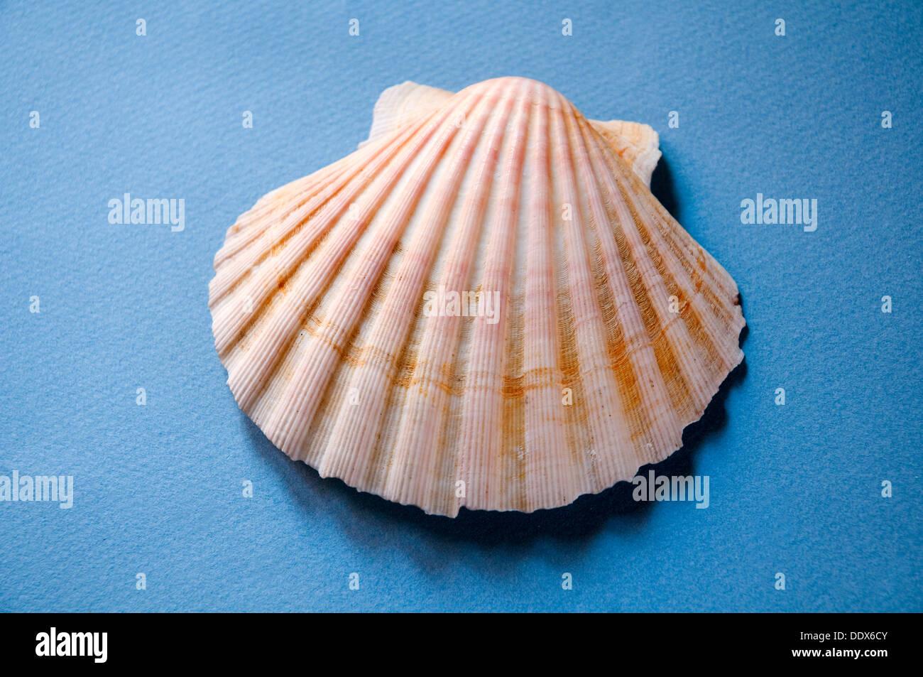 Shell - Stock Image