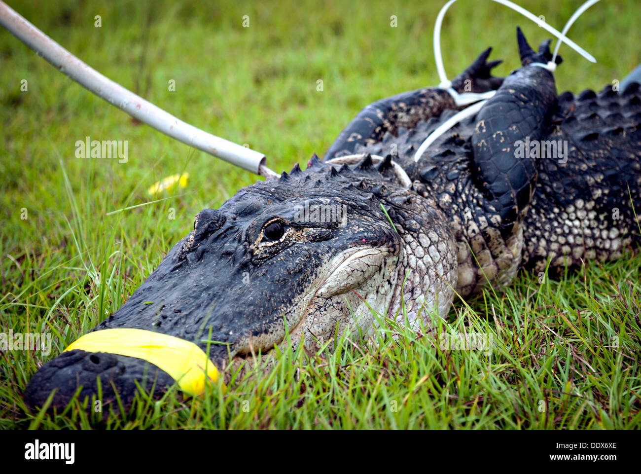 An alligator bound and tied ready for transportation after being captured by a USDA biologist July 25, 2013 at Moody Air Force Base, GA., July 25, 2013. The alligator had to be relocated after it lost fear of people due to illegal feeding. - Stock Image