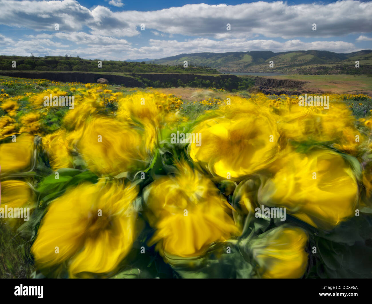 Balsamroot wildflowers in the wind. Tom McCall Park. Columbia River Gorge National Scenic Area. Oregon - Stock Image