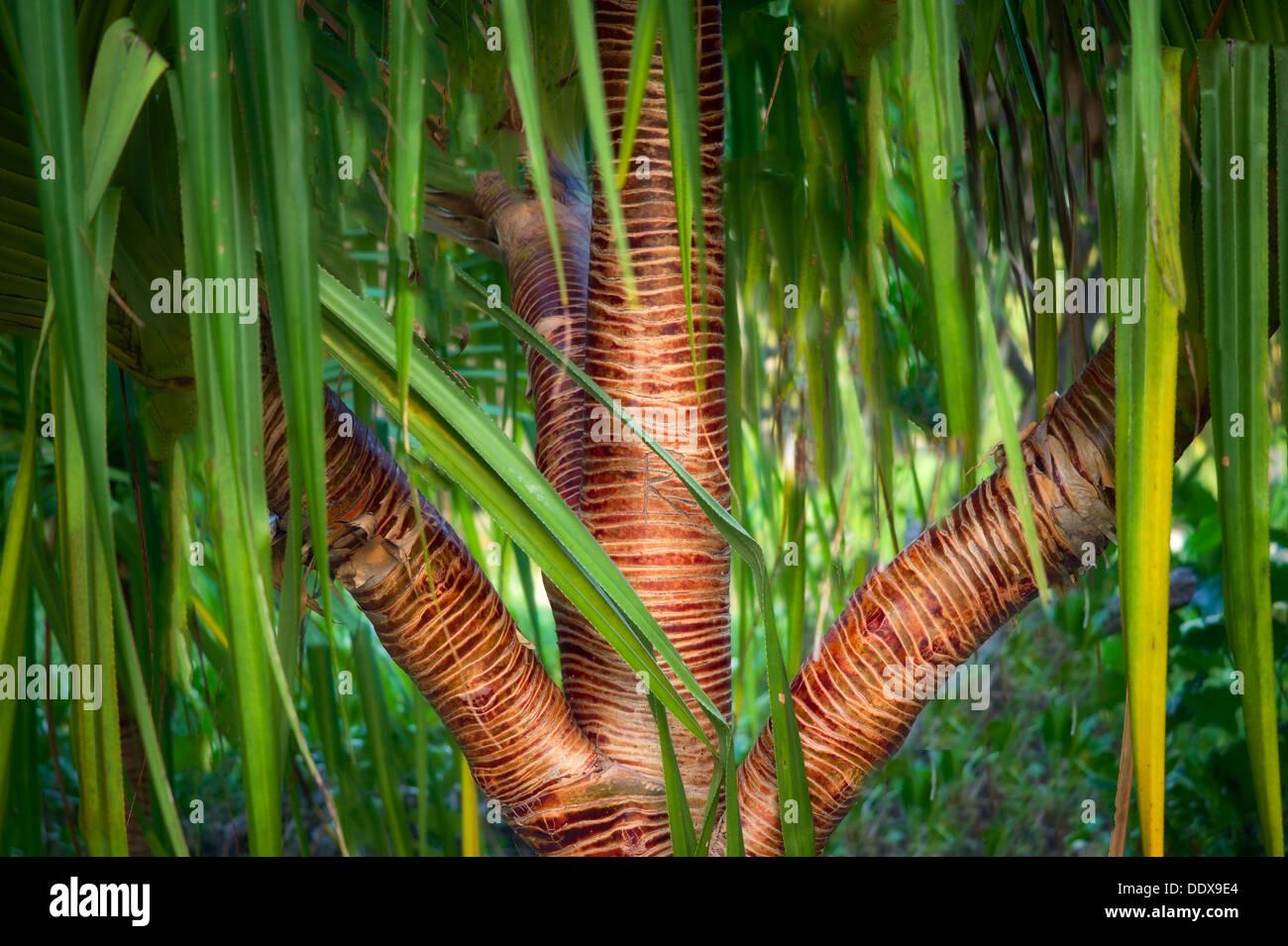 Close up of bark on Pandanus Tree. Bora Bora. French Polynesia. - Stock Image