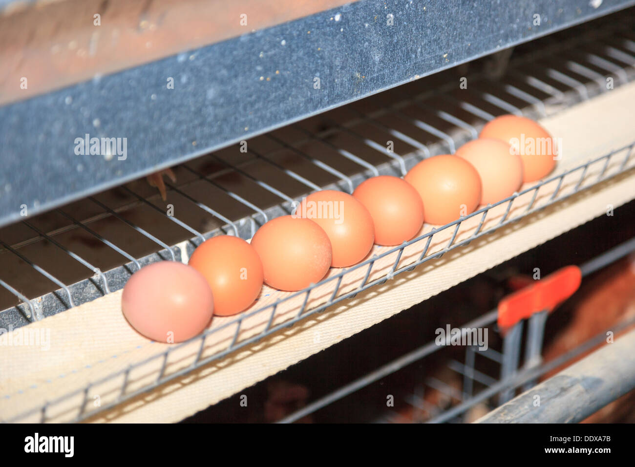 Poultry Farm. Industrial production of edible egg. - Stock Image