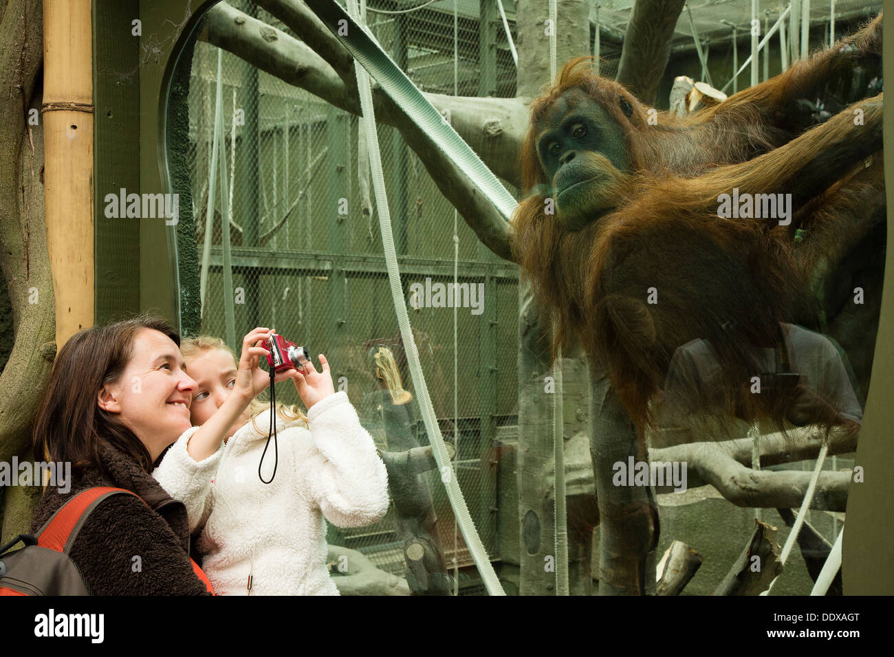 Woman and child watching and photographing an orangutan in its enclosure at Chester Zoo - Stock Image