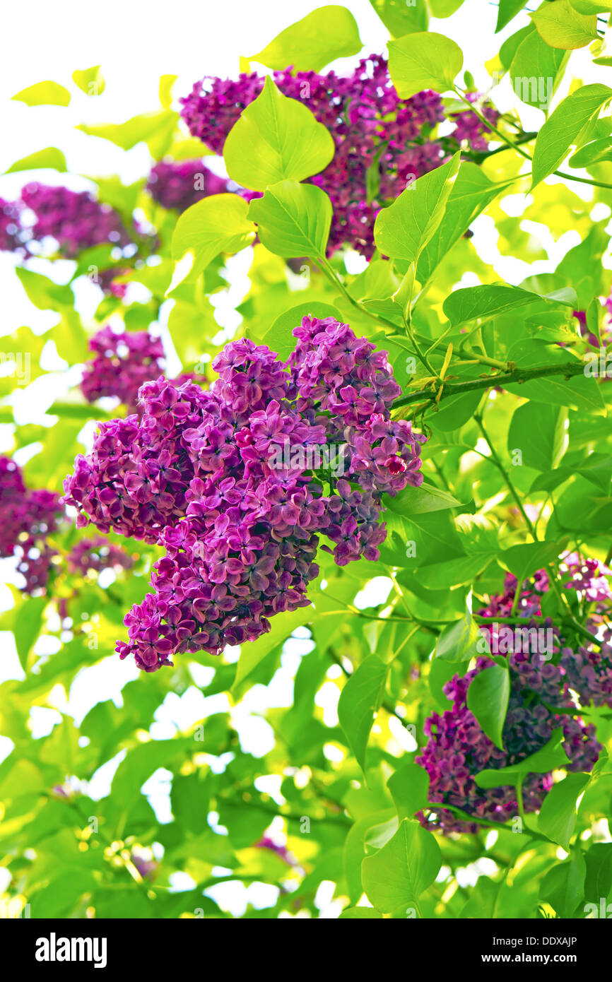 Syringa (Lilac) flowers in a garden. - Stock Image