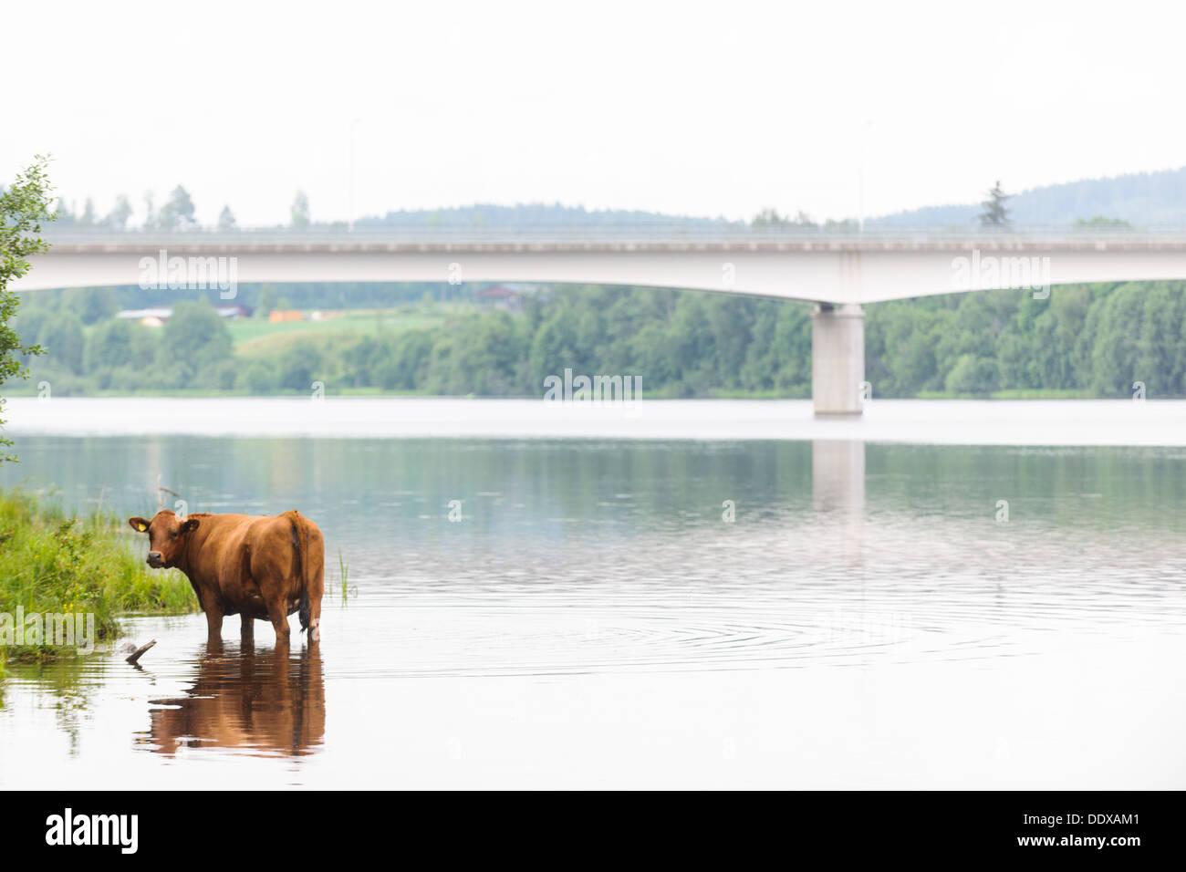 Cow standing in river, Dalälven, Dalarna, Sweden - Stock Image