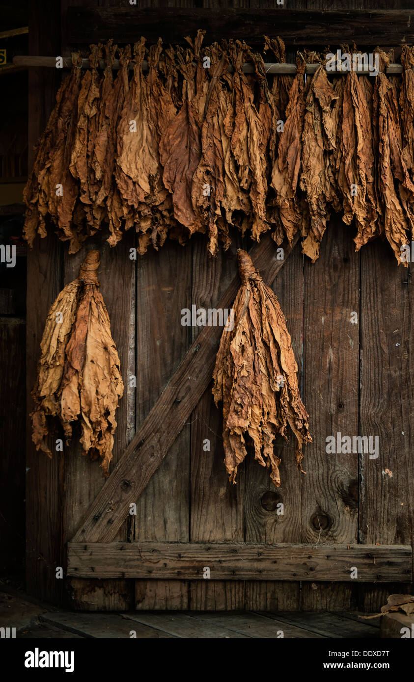 Golden tobacco leaves drying out on an old barn door. - Stock Image