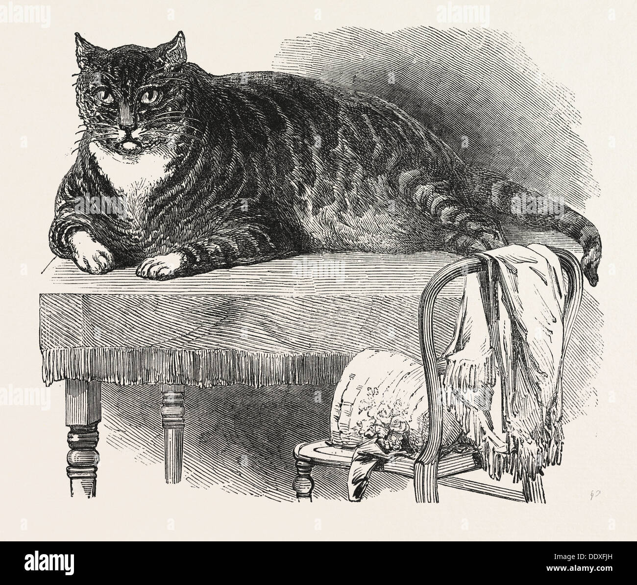 LARGE CAT, 1850. This noble specimen of the Cat is domesticated at No. 175, Oxford Street, London - Stock Image