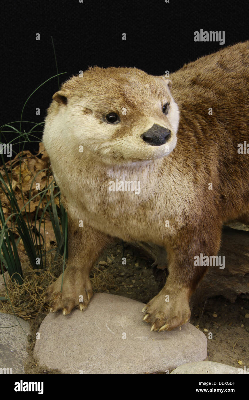 Otter. Taxidermy. Canfield Fair. Mahoning County Fair. Canfield, Youngstown, Ohio, USA. - Stock Image