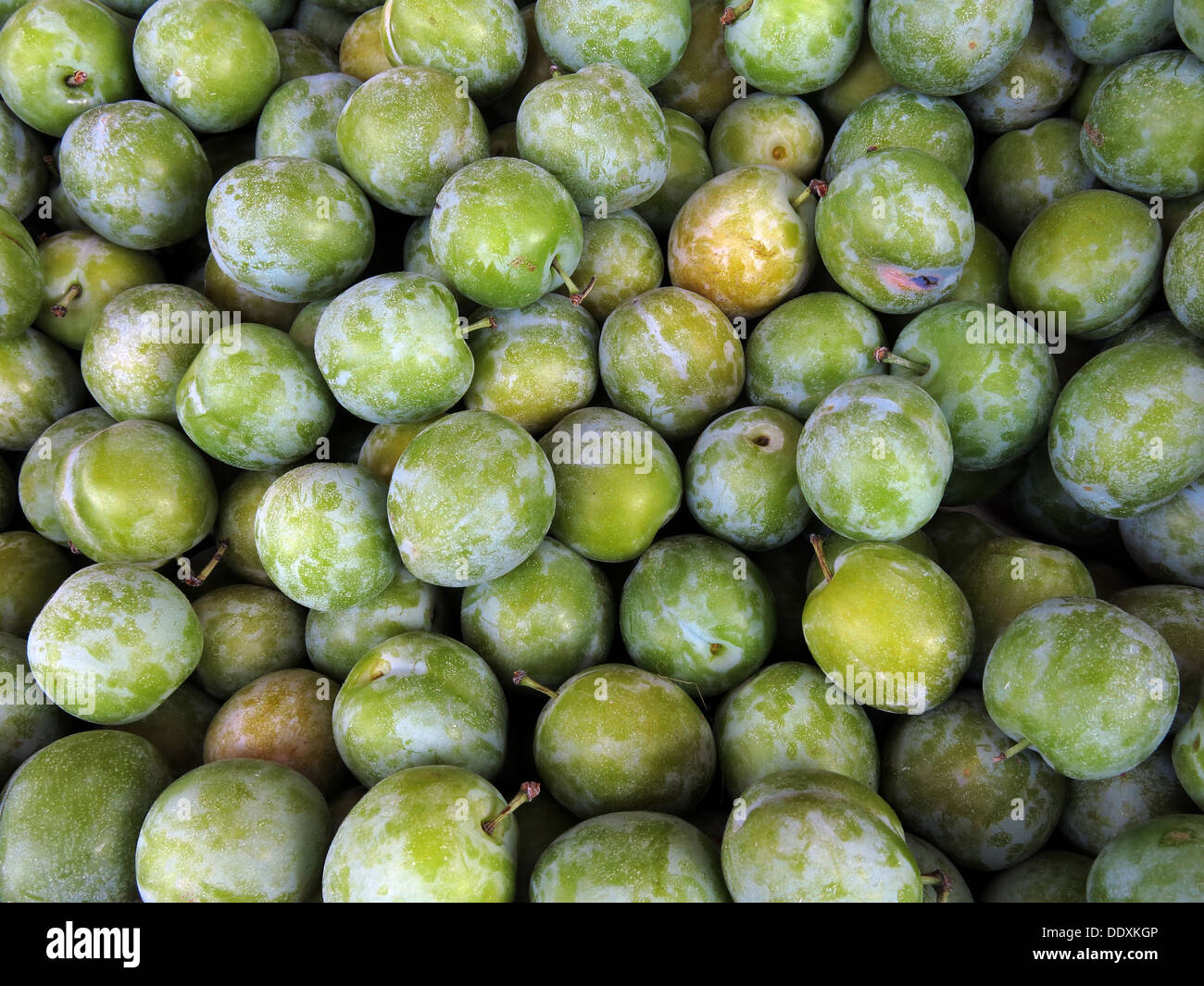 Organic Green greengages fruit one of your five a day - Stock Image