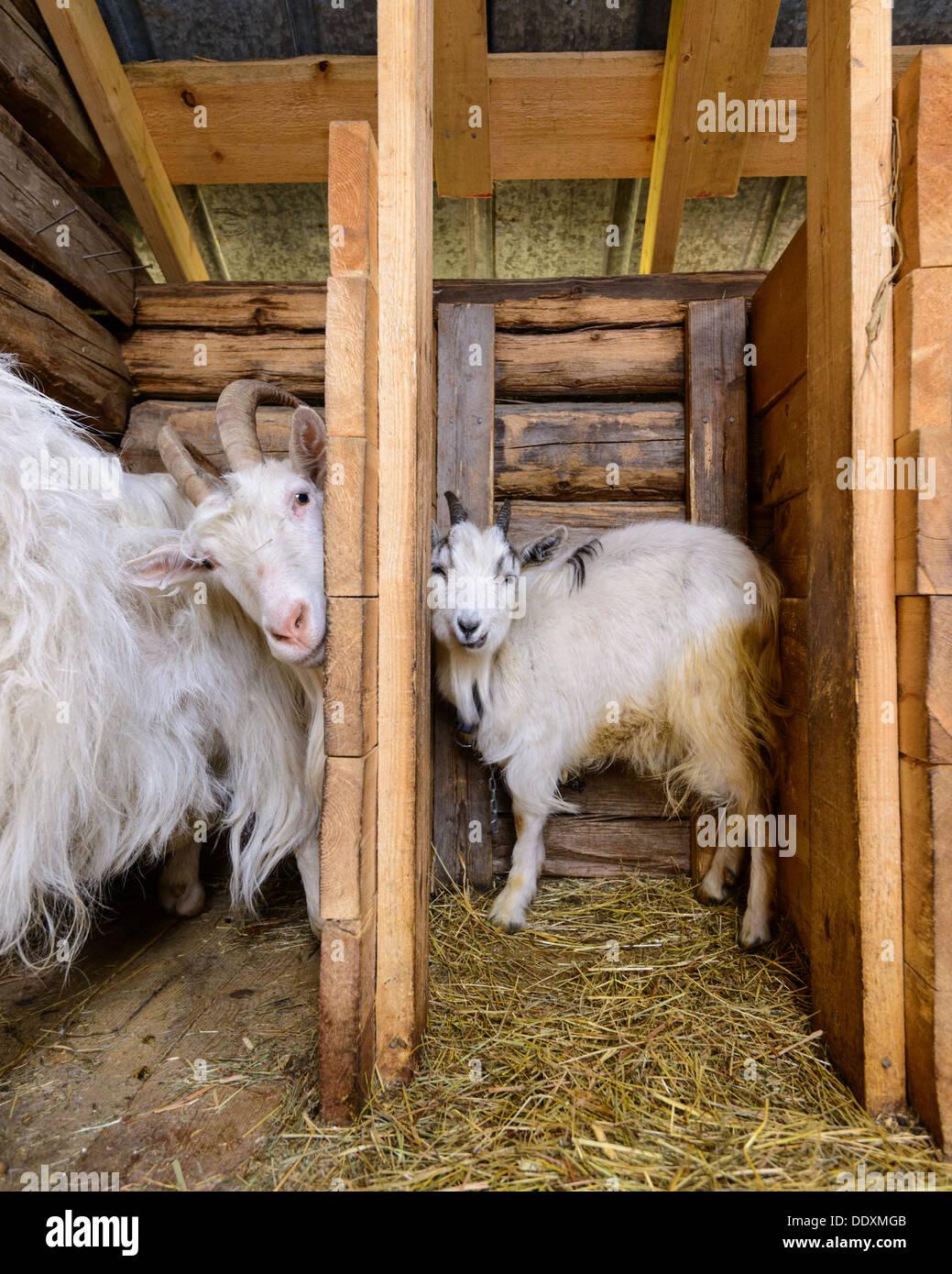Goats in barn, Arvselen, Dalarna, Malung-Sälen kommun, Sweden - Stock Image