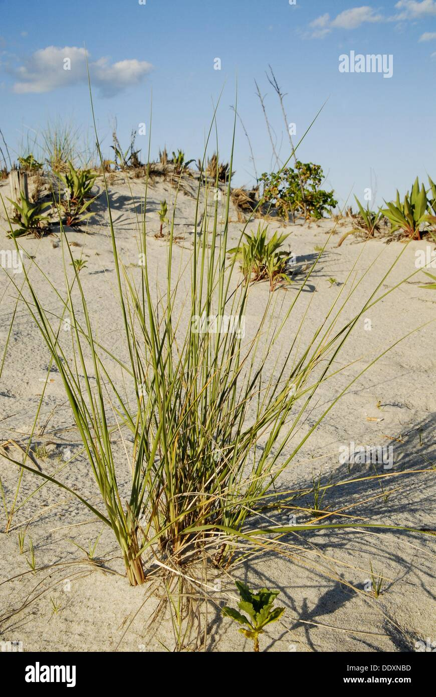 Lonely dune grass spreads out on sand, Long Beach Island, New Jersey, USA. - Stock Image