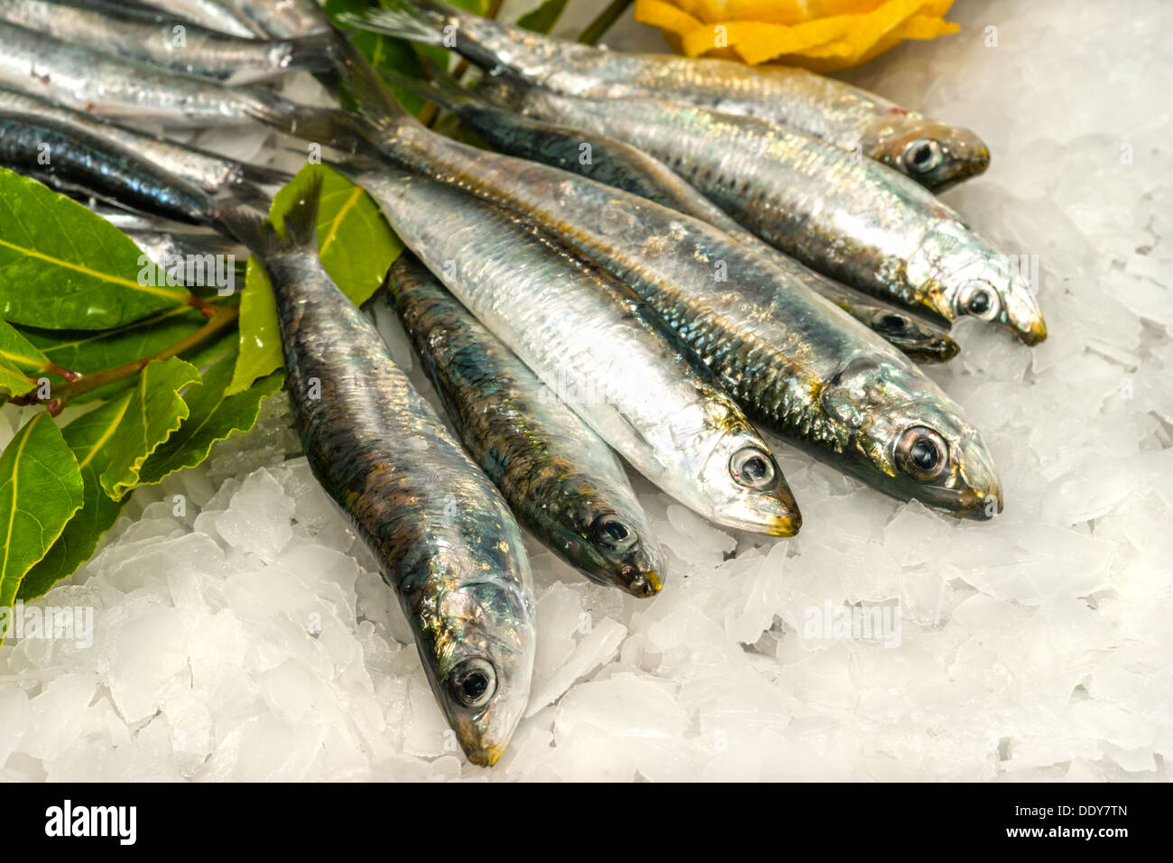 Fresh Sardines and Anchovies on ice. - Stock Image
