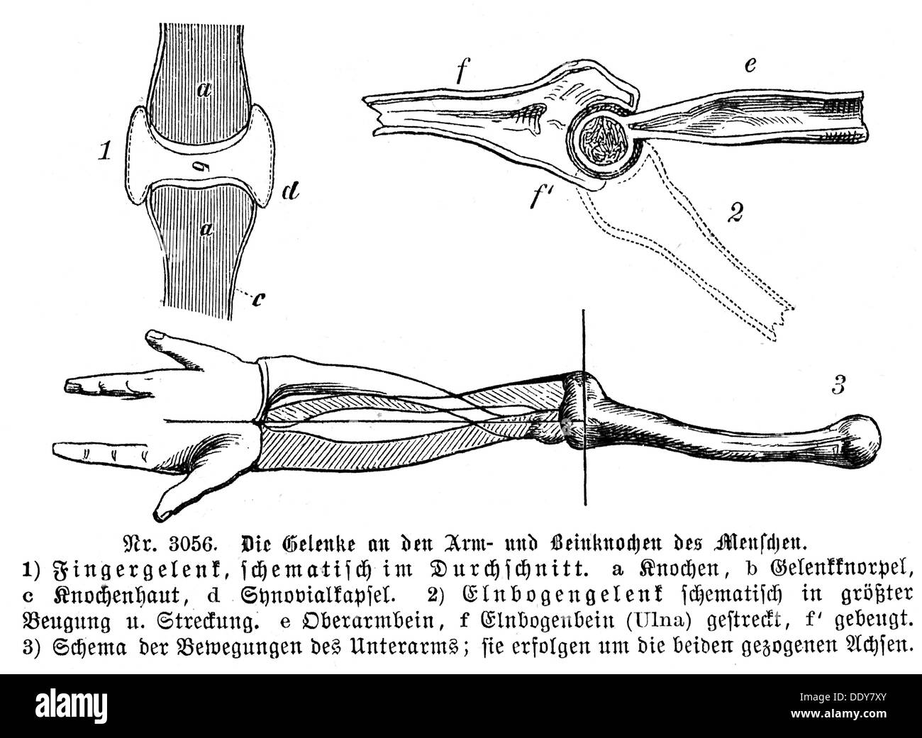 medicine anatomy skeleton / bones joints of the human arm bones and ...