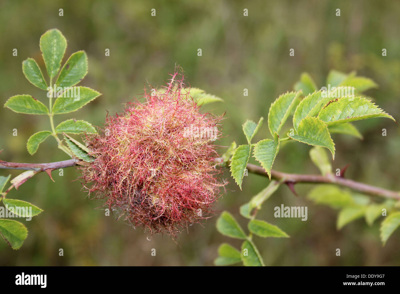 Bedeguar a.k.a. Robin's Pincushion Gall on Dog Rose Rosa canina caused by the Gall Wasp Diplolepis rosae - Stock Image