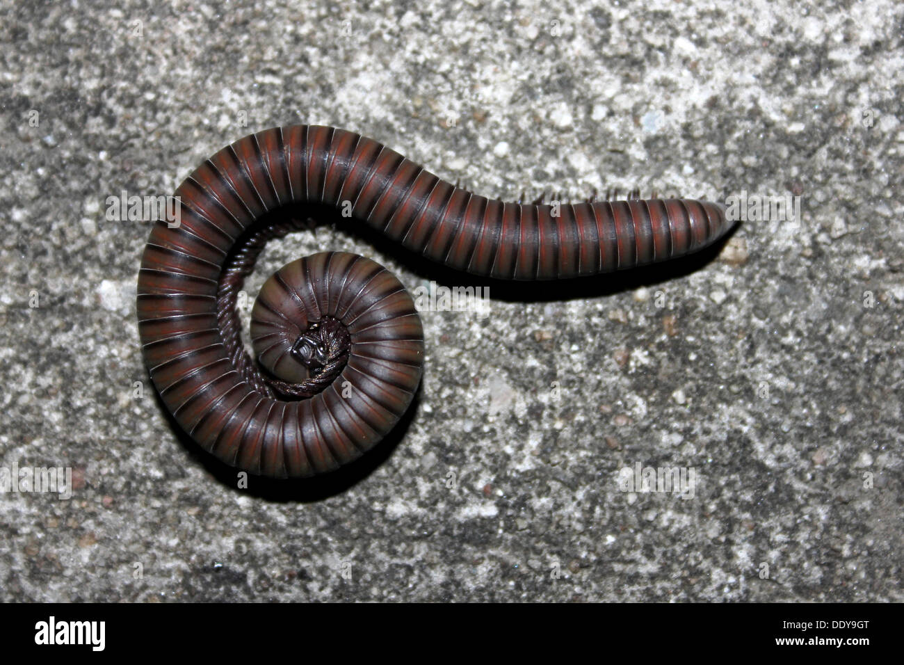 Curled-up Millipede, Ghana - Stock Image