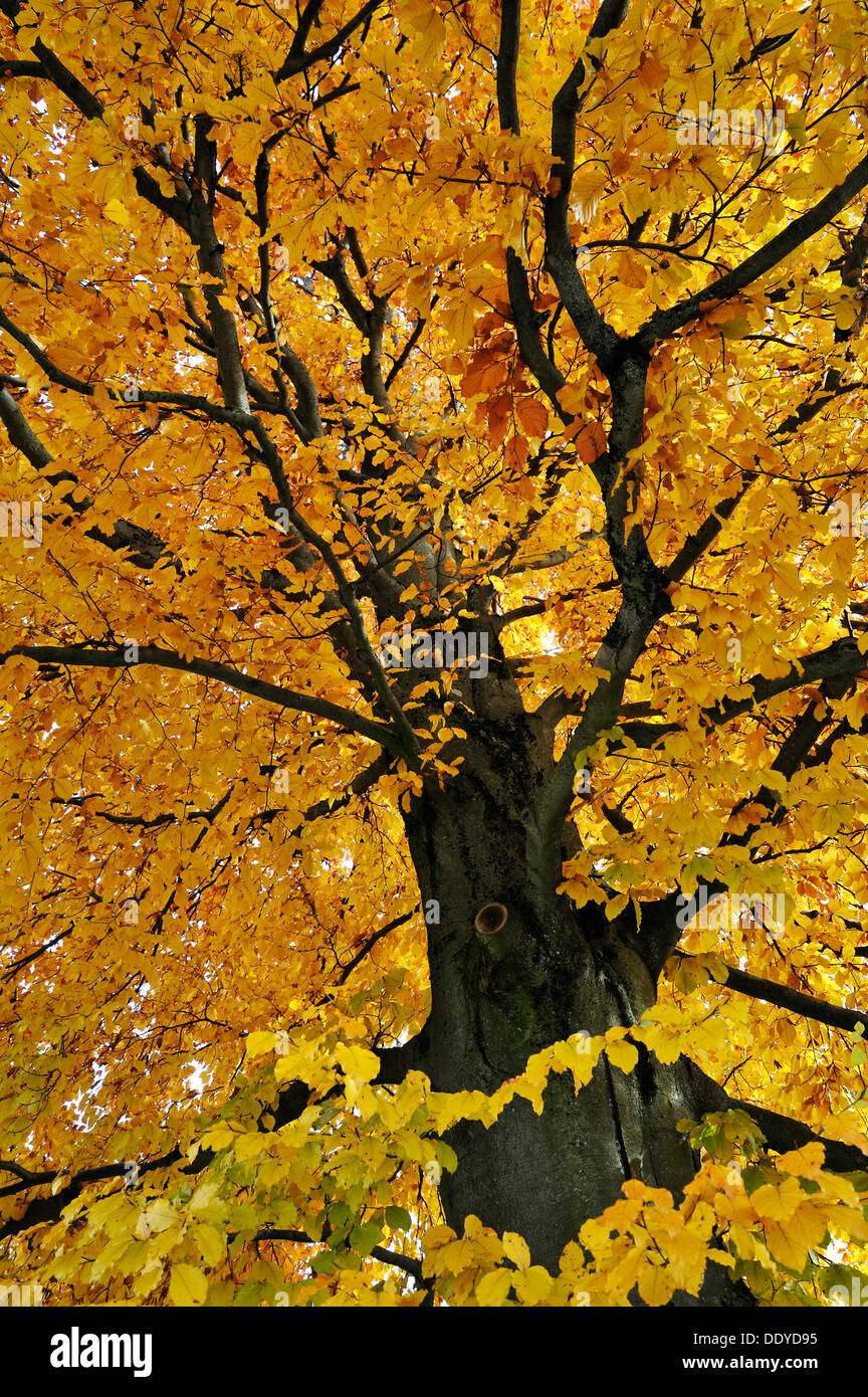 Beech tree (Fagus) in autumn colours, Munich, Bavaria - Stock Image