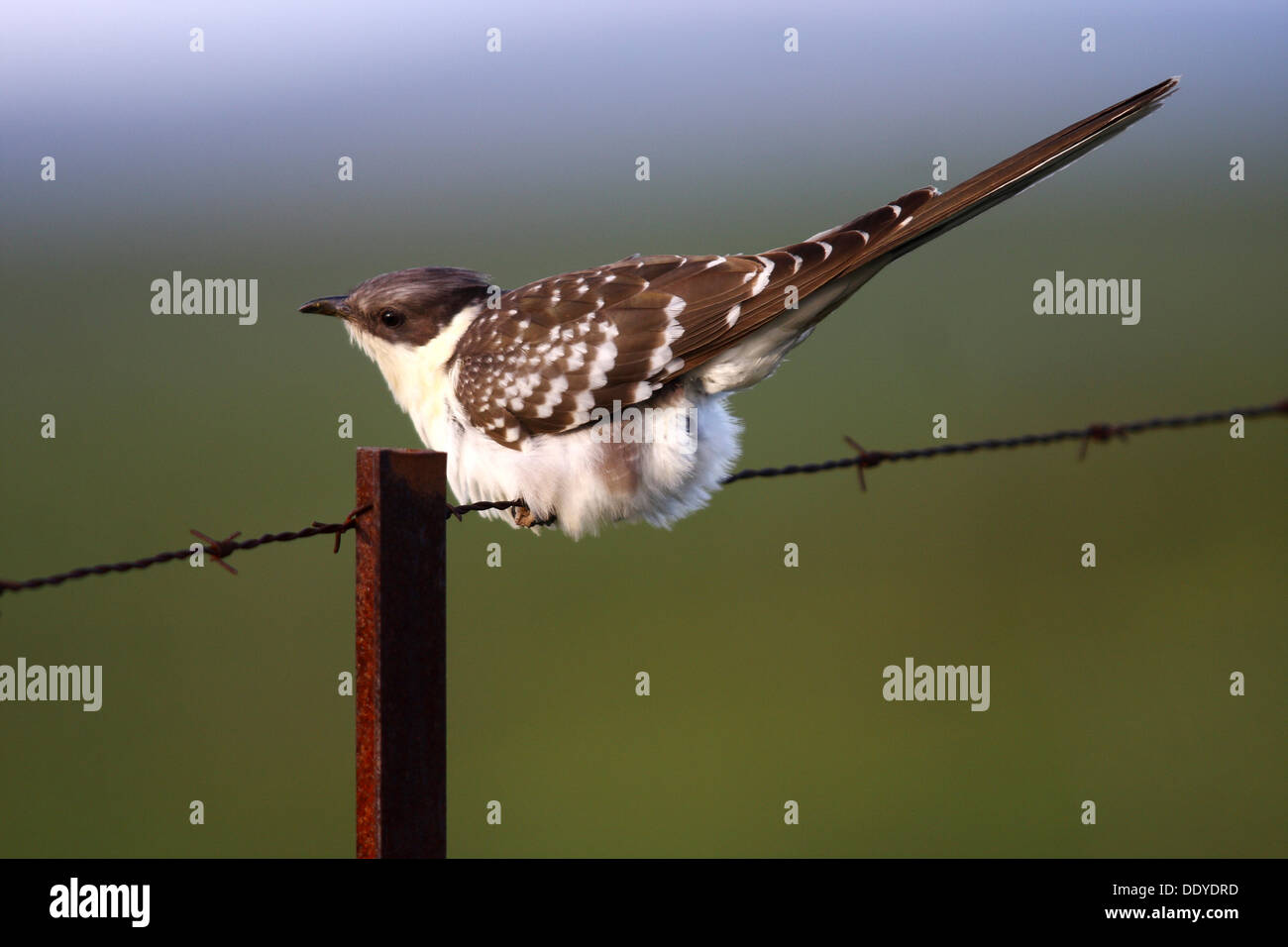 Great Spotted Cuckoo (Clamator glandarius) sitting on rusty barbed wire fence, Extremadura, Spain, Europe - Stock Image