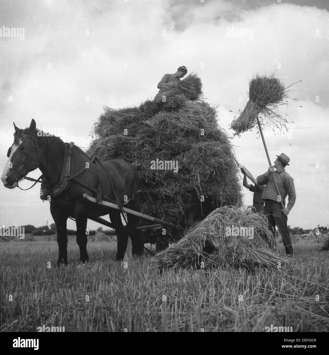 Haymaking, Scania, Sweden, 1940s. - Stock Image