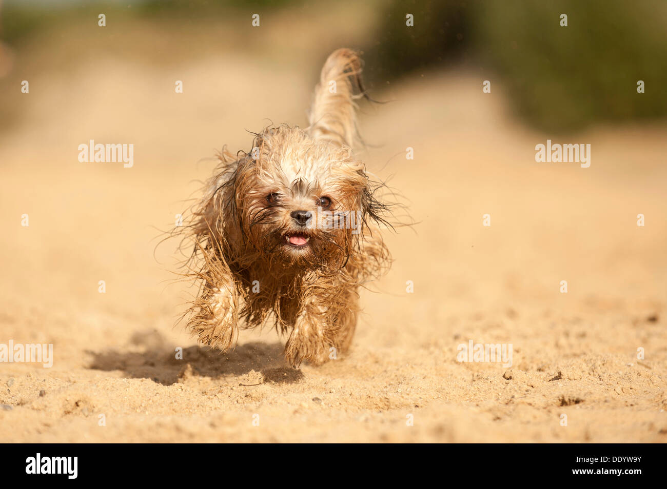 Galloping wet Bolonka Zwetna or Coloured Lapdog - Stock Image