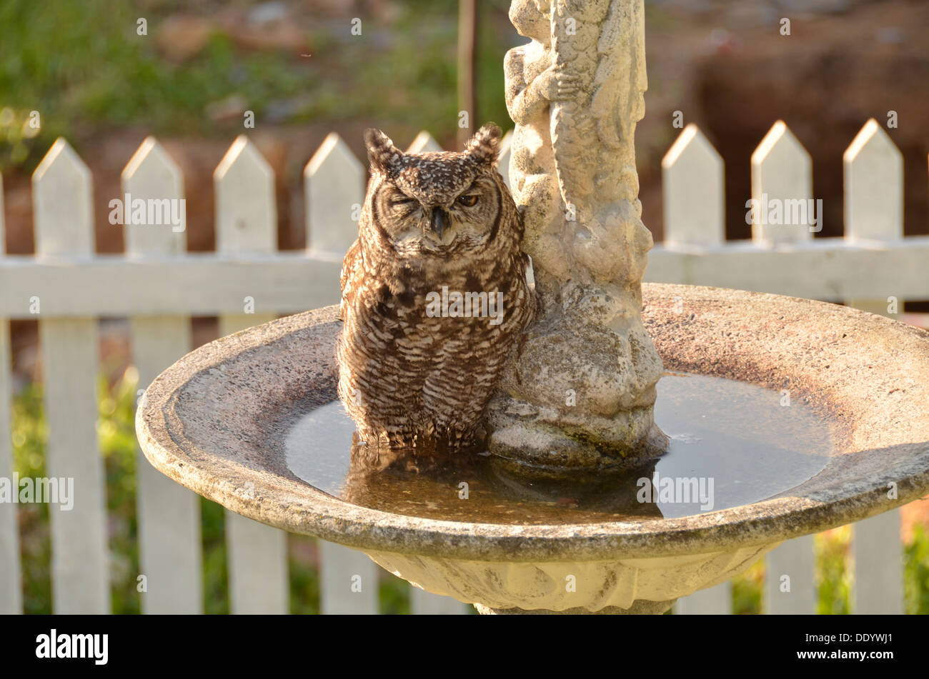Cape Eagle owl resting in a garden fountain in daylight Stock Photo ...