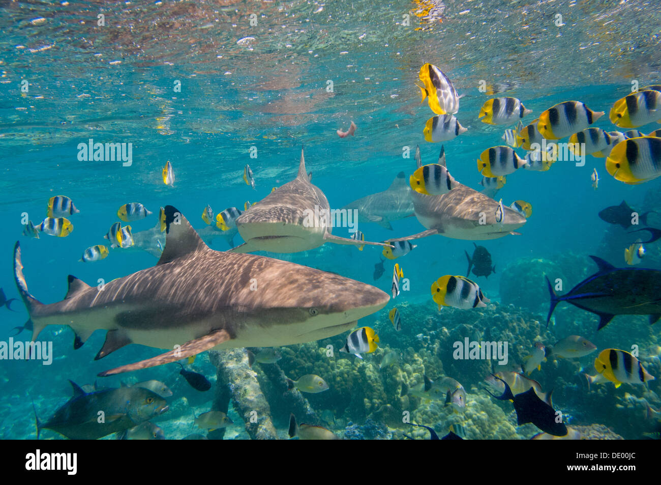 Black-tipped reef sharks (Carcharhinus melanopterus) swimming amidst Pacific Double-saddle Butterflyfish (Chaetodon Stock Photo