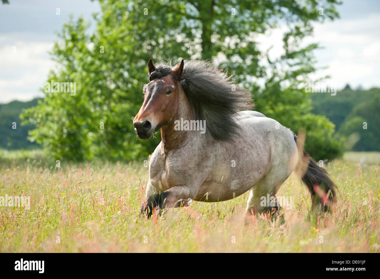 Belgian Draft horse galloping across a meadow - Stock Image