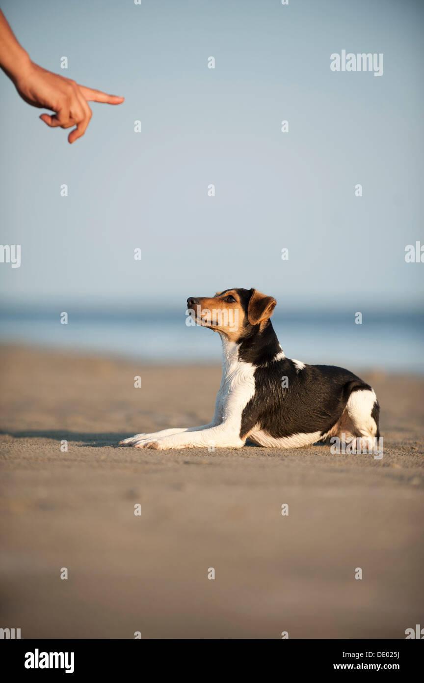 Dansk-Svensk Gardshund or Danish–Swedish Farmdog lying on command Stock Photo