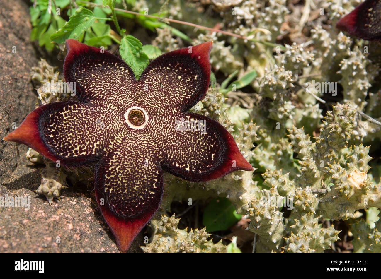 Succulent plant, Fermhin, Socotra, Yemen - Stock Image