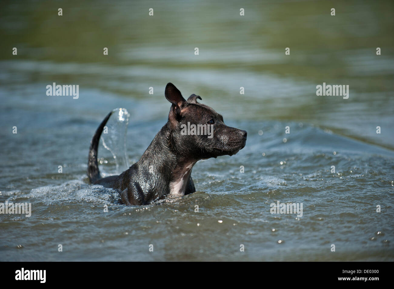 Old English Staffordshire Bull Terrier, dog in the water - Stock Image