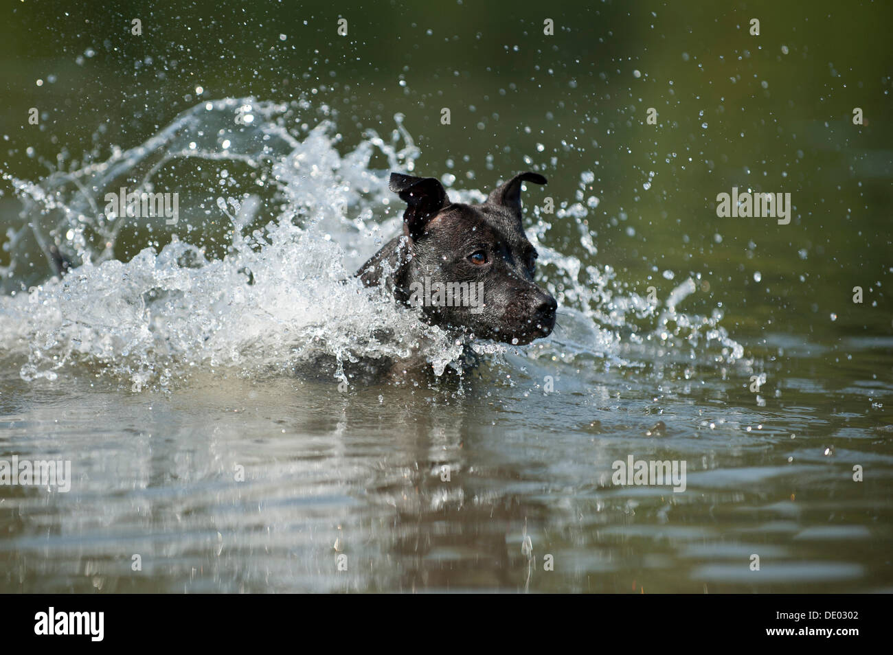 Old English Staffordshire Bull Terrier, dog jumping into the water - Stock Image