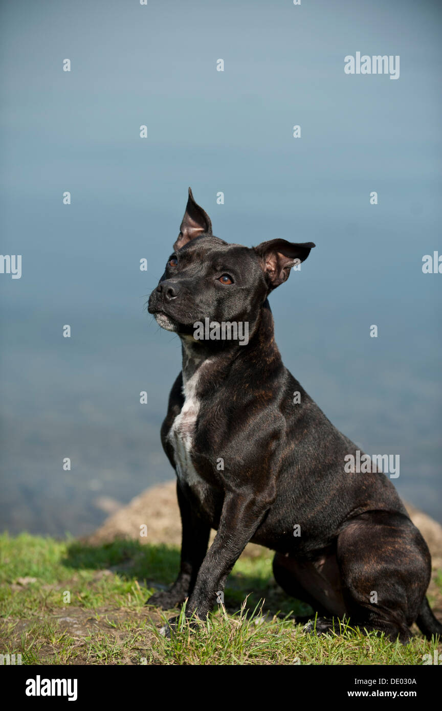 Old English Staffordshire Bull Terrier, dog sitting on the lakeshore - Stock Image