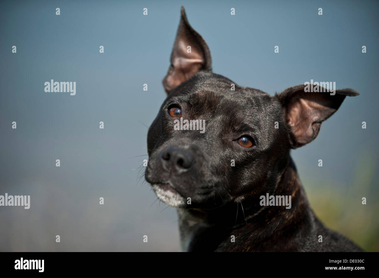 Portrait of a dog, Old English Staffordshire Bull Terrier - Stock Image