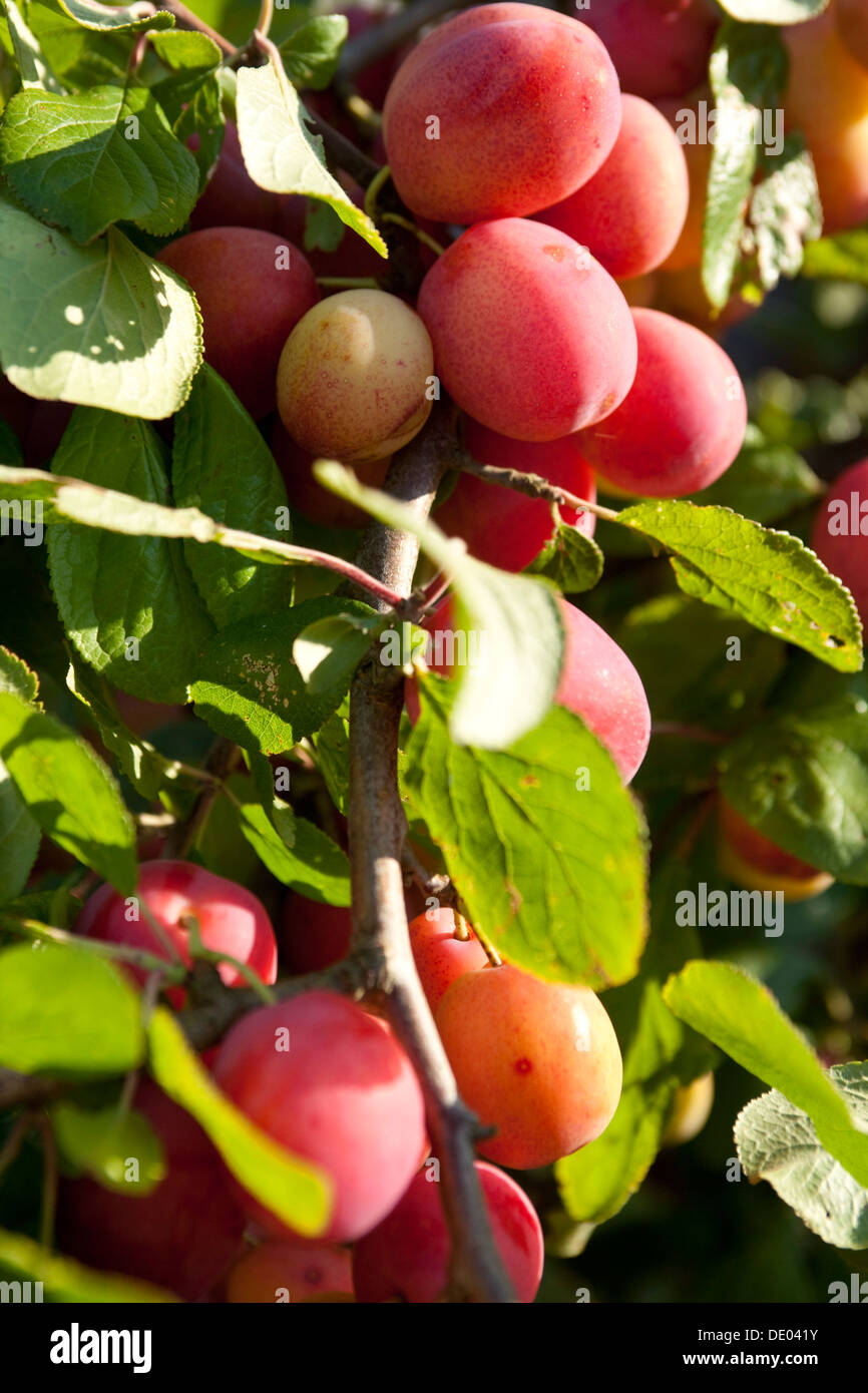 Victoria Plums early September Scotland. - Stock Image