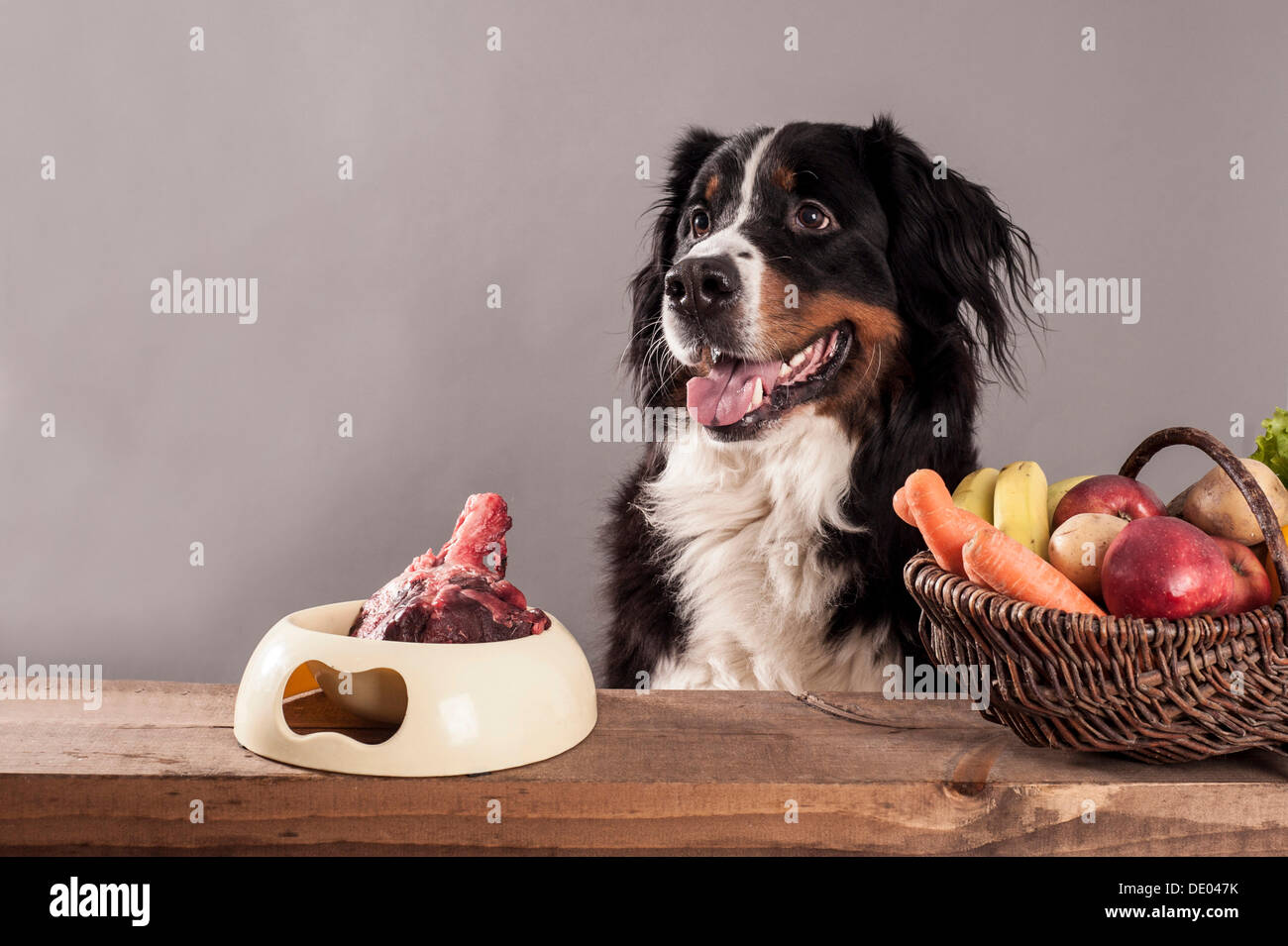 Bernese Mountain Dog Sitting Next To A Bowl Of Raw Meat And