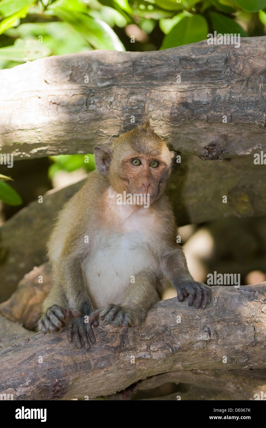 Rhesus macaque or monkey (Macaca mulatta) Stock Photo