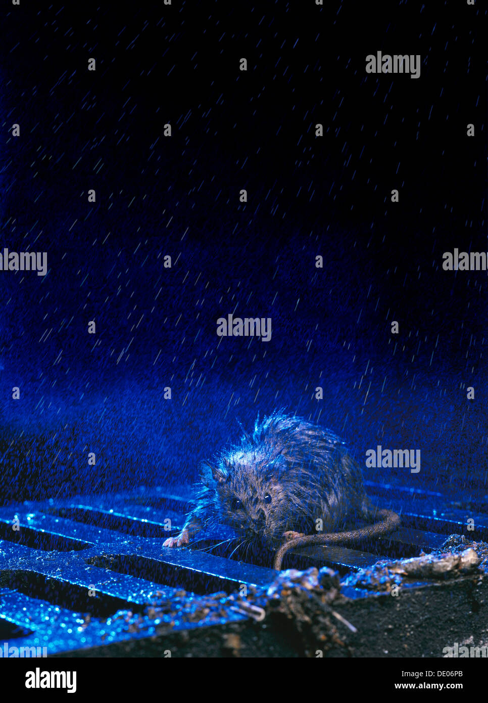 Brown Rat or Norway Rat (Rattus norvegicus) on a manhole cover in the rain at night - Stock Image
