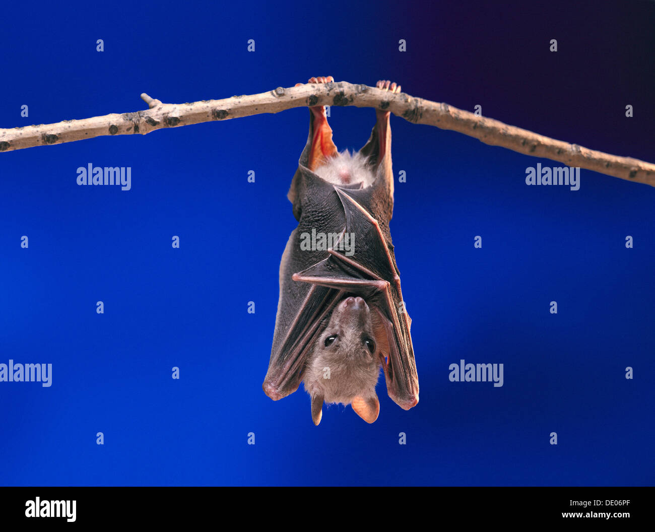 Fruit Bat or Flying Fox (Pteropus medius) resting by hanging upside down on a branch Stock Photo