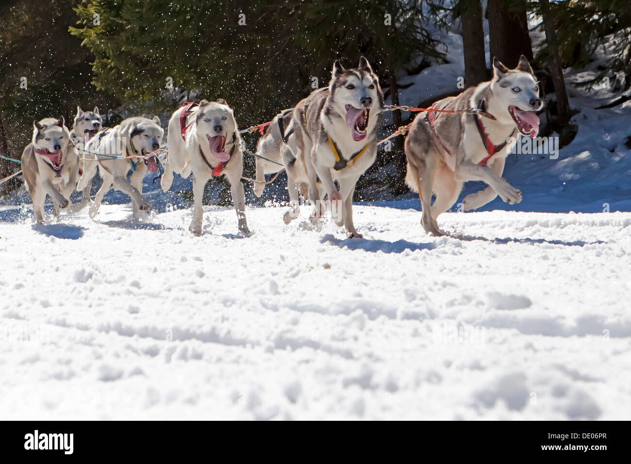 Dog sled or dog sledge, sledge dogs running through a forest, in winter - Stock Image