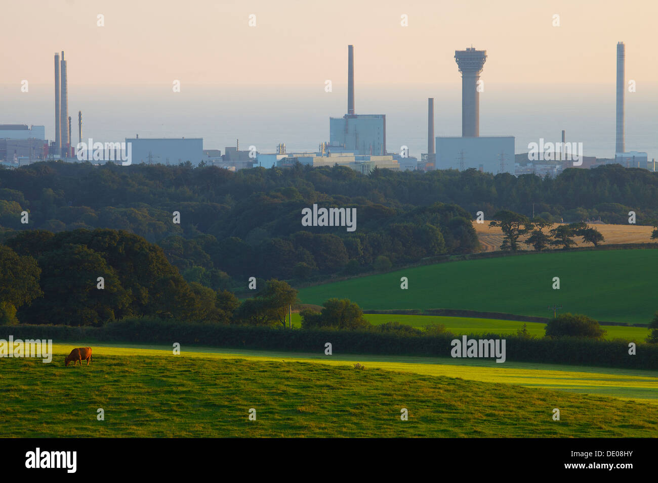 Sellafield nuclear power station in the evening light with a cow in field in the foreground Cumbria England United Kingdom - Stock Image