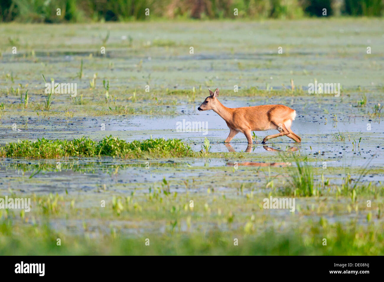 Roe deer (Capreolus capreolus), doe, in search of food in wetlands - Stock Image