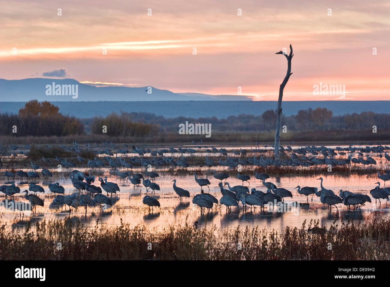Sandhill Cranes (Grus canadensis) at sunrise, dawn, Bosque del Apache Wildlife Refuge, New Mexico, North America, USA - Stock Image