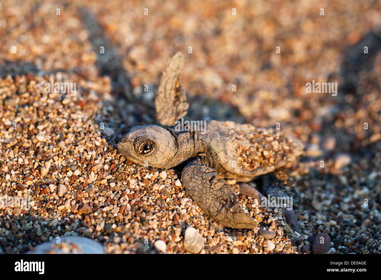 Loggerhead Sea Turtle (Caretta caretta), hatchling, Lycian Coast, Turkey, Asia Minor - Stock Image