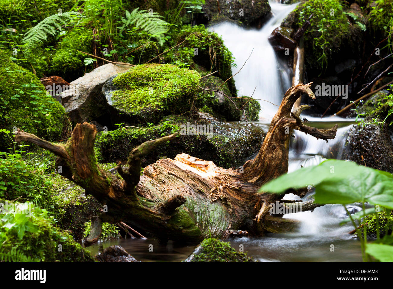 Roots of a tree in Burgbach stream near Schapbach, Black Forest, Baden-Wuerttemberg - Stock Image
